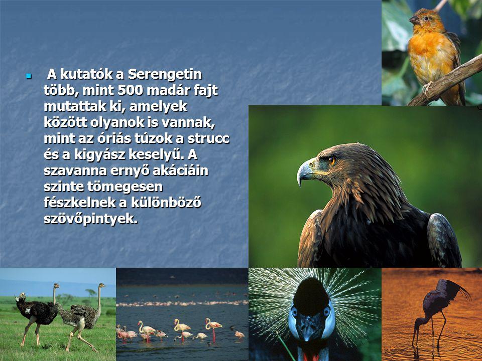  A kutatók a Serengetin több, mint 500 madár fajt mutattak ki, amelyek között olyanok is vannak, mint az óriás túzok a strucc és a kigyász keselyű. A