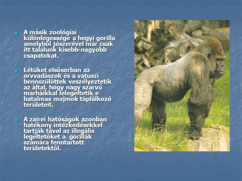  A másik zoológiai különlegessége a hegyi gorilla amelyből jószerével már csak itt találunk kisebb-nagyobb csapatokat.  Létüket elsősorban az orvvad