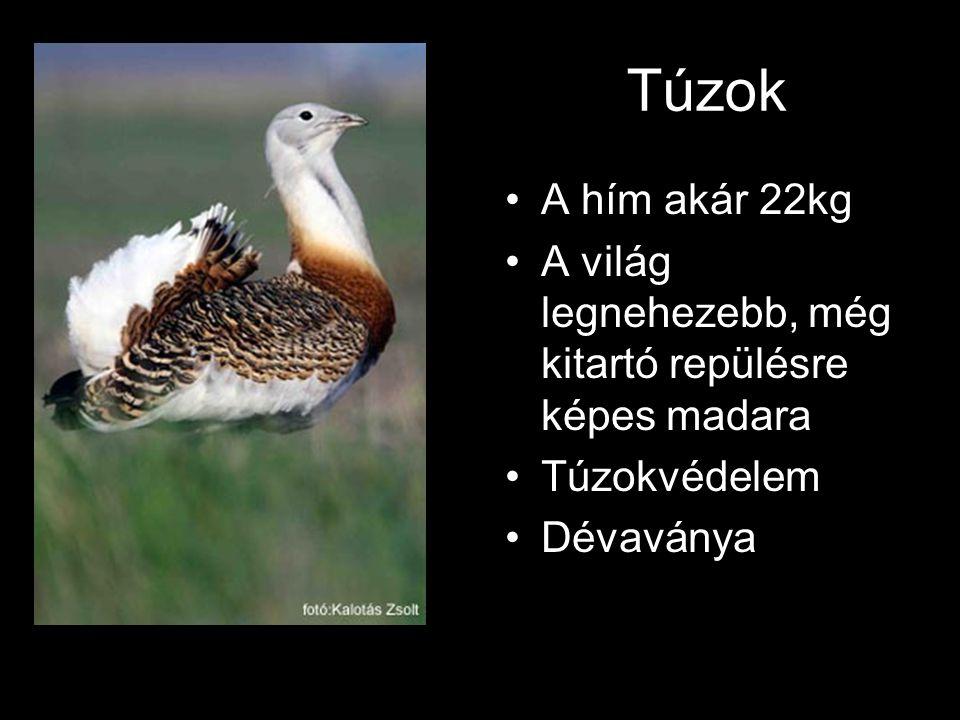 Túzok •A hím akár 22kg •A világ legnehezebb, még kitartó repülésre képes madara •Túzokvédelem •Dévaványa