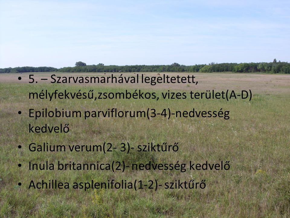 • 5. – Szarvasmarhával legeltetett, mélyfekvésű,zsombékos, vizes terület(A-D) • Epilobium parviflorum(3-4)-nedvesség kedvelő • Galium verum(2- 3)- szi