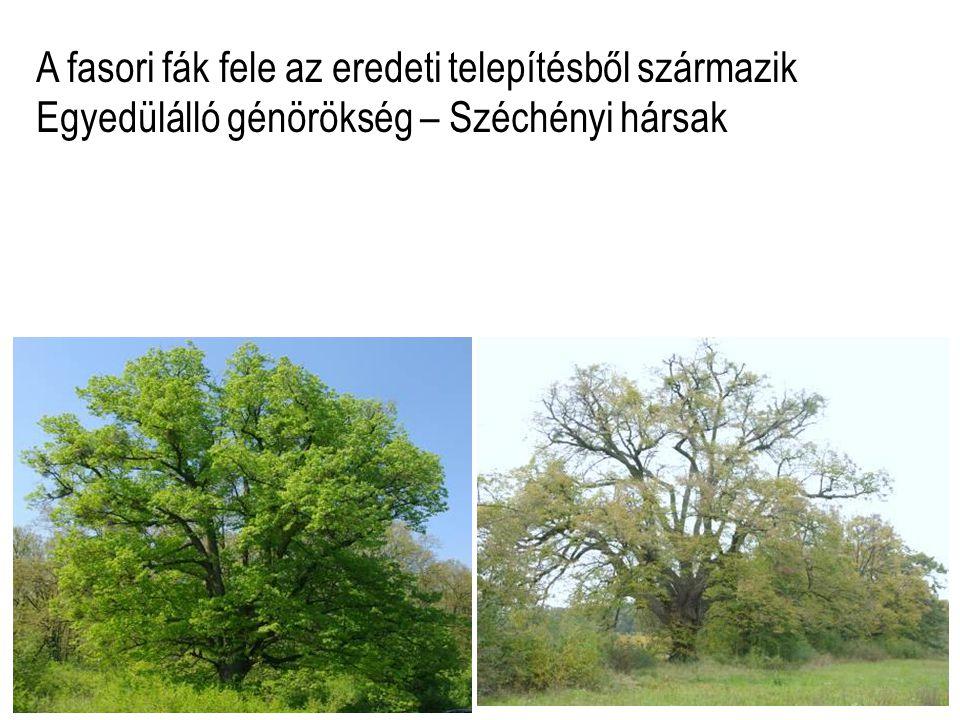 A fasori fák fele az eredeti telepítésből származik Egyedülálló génörökség – Széchényi hársak