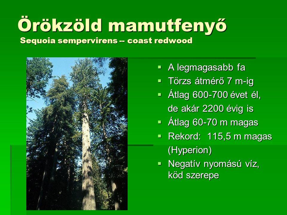 """Óriás mamutfenyő Sequoiadendron giganteum -- giant sequoia  A legnagyobb össztömegű: 250-270 t  3200 évig is megélhet  """"csak 80-100 m-esre nő  A redwood nemzeti parktól 300 km-re keletre  Törzsátmérő: 13 m-ig  Toboz pici, csak 3-4 cm  Szaporodásához: mókusok, cincérek és erdőtűz is kell Emberek!"""