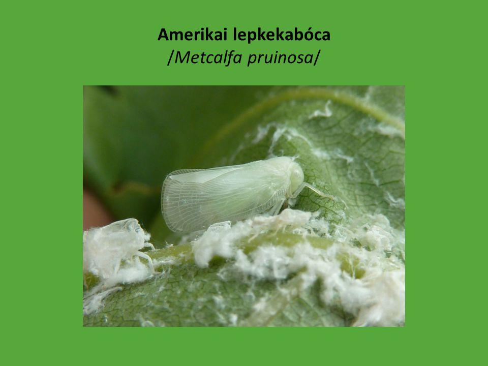 Platánbodobács /Arocatus longiceps/