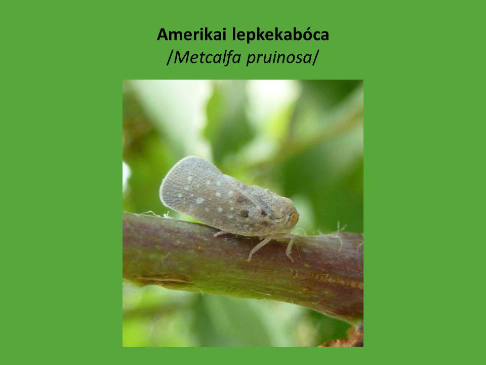 Vándorpoloska /Nezara viridula/