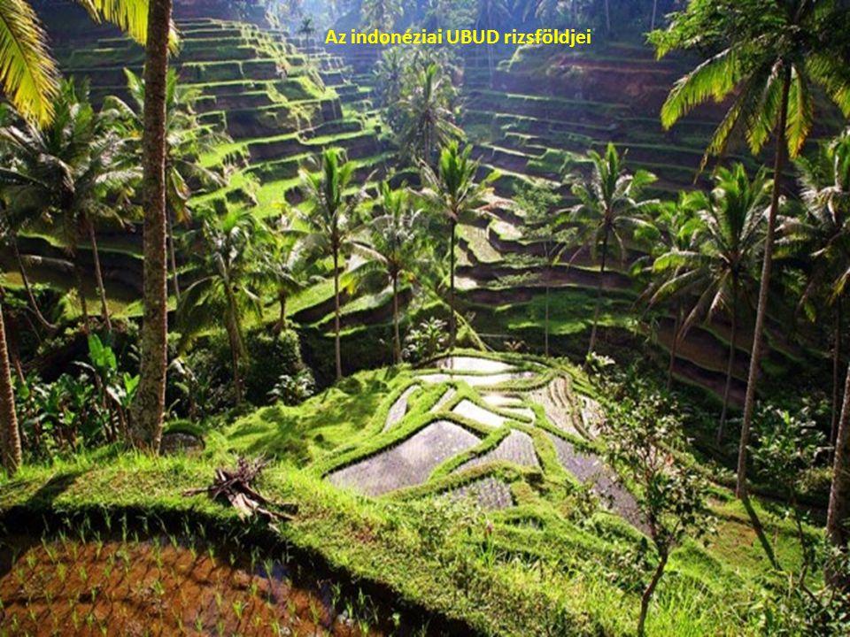 Az indonéziai UBUD rizsföldjei