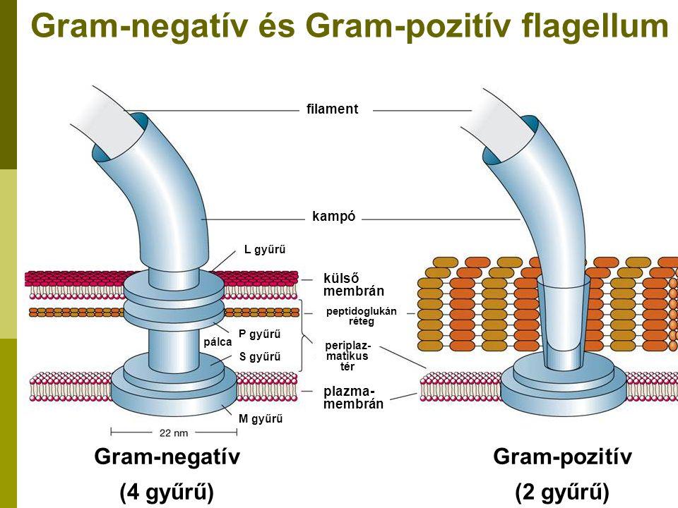filament kampó L gyűrű külső membrán peptidoglukán réteg periplaz- matikus tér plazma- membrán P gyűrű S gyűrű M gyűrű Gram-negatív (4 gyűrű) Gram-poz