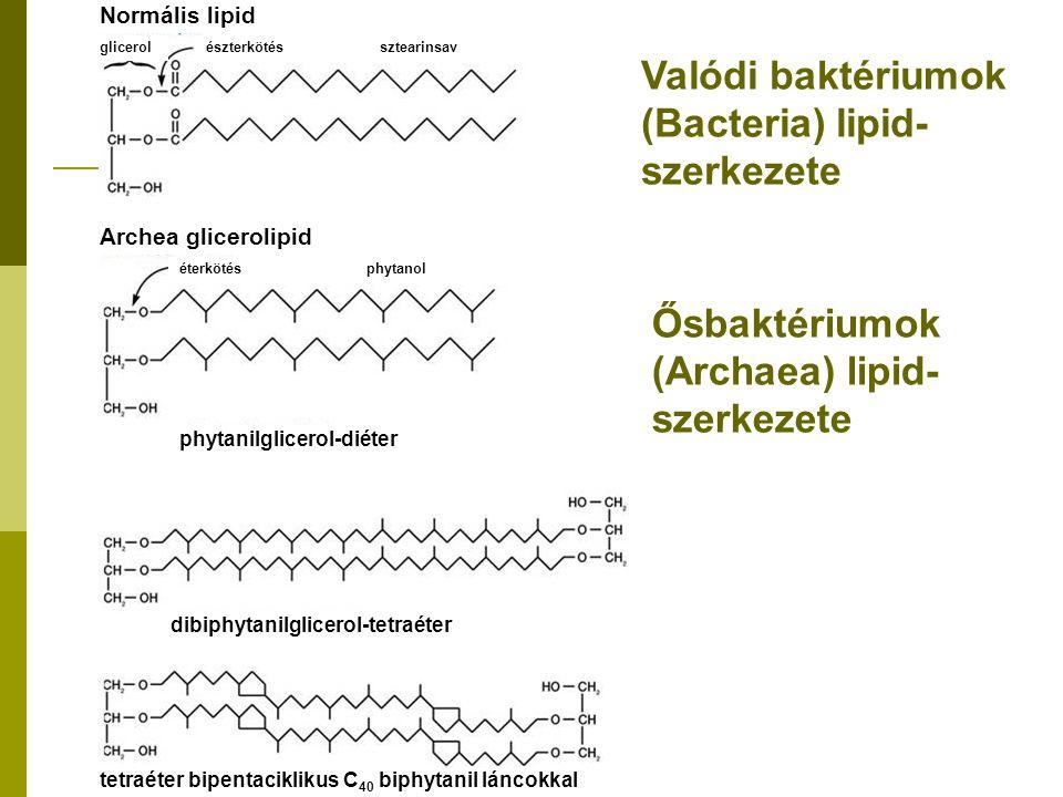Valódi baktériumok (Bacteria) lipid- szerkezete Ősbaktériumok (Archaea) lipid- szerkezete Normális lipid glicerolészterkötés sztearinsav Archea glicer