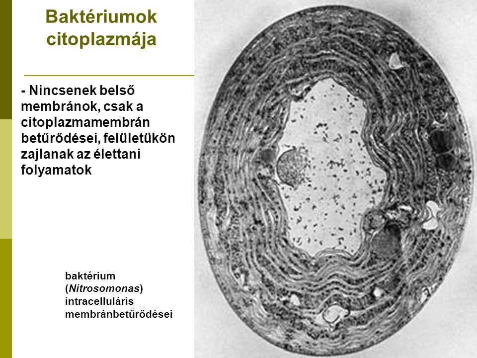 Baktériumok citoplazmája - Nincsenek belső membránok, csak a citoplazmamembrán betűrődései, felületükön zajlanak az élettani folyamatok baktérium (Nit