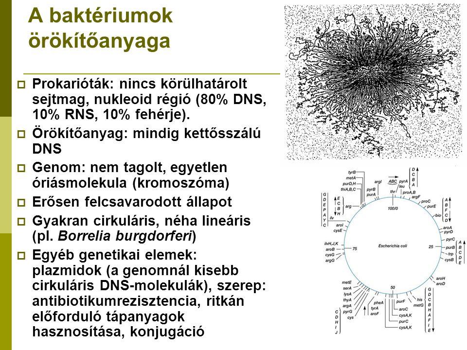 A baktériumok örökítőanyaga  Prokarióták: nincs körülhatárolt sejtmag, nukleoid régió (80% DNS, 10% RNS, 10% fehérje).  Örökítőanyag: mindig kettőss
