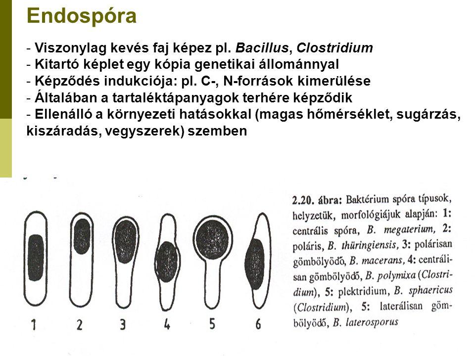 Endospóra - Viszonylag kevés faj képez pl. Bacillus, Clostridium - Kitartó képlet egy kópia genetikai állománnyal - Képződés indukciója: pl. C-, N-for