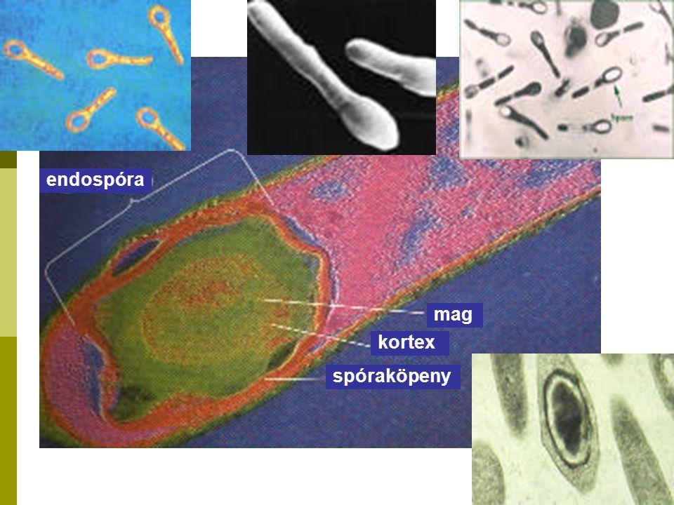 endospóra mag spóraköpeny kortex