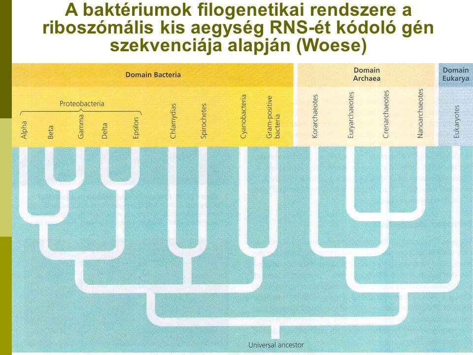 A baktériumok filogenetikai rendszere a riboszómális kis aegység RNS-ét kódoló gén szekvenciája alapján (Woese)