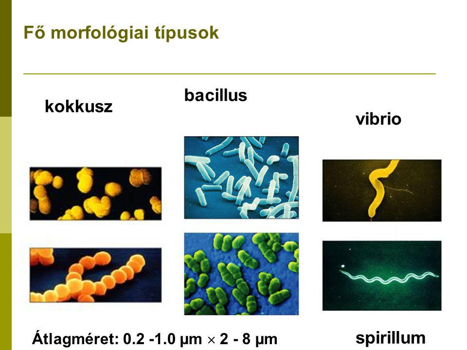 Mor fológia kokkuszpálcika, vagy bacilliformCsavart formák Diplokokkusz Neisseria: kávébab alak kokkobacillus Vibrio: csavart pálca Tetrádok (4 kokkusz) Sarcina: (8, 16, 32, 64 kokkusz) Mycobacterium coryneform Spirillum Streptococcus: füzérszerű Micrococcus és Staphylococcus Spóraképző pálcikák Streptomyces: gombaszerű Spirocheta
