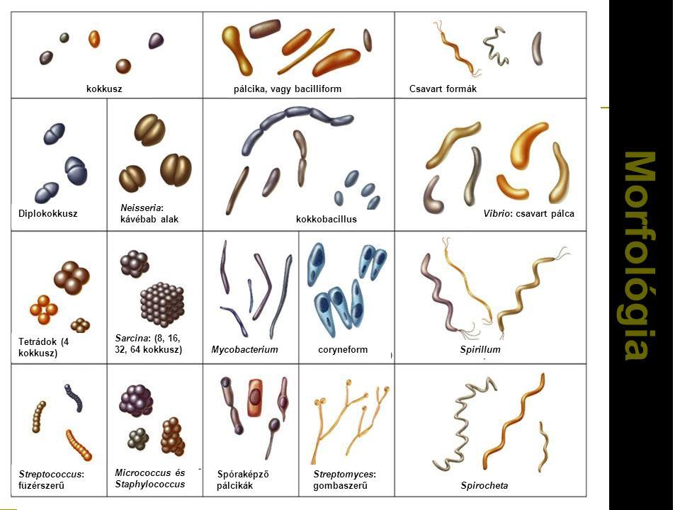 Mor fológia kokkuszpálcika, vagy bacilliformCsavart formák Diplokokkusz Neisseria: kávébab alak kokkobacillus Vibrio: csavart pálca Tetrádok (4 kokkus