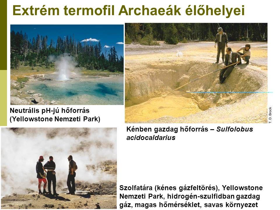 Extrém termofil Archaeák élőhelyei Neutrális pH-jú hőforrás (Yellowstone Nemzeti Park) Kénben gazdag hőforrás – Sulfolobus acidocaldarius Szolfatára (