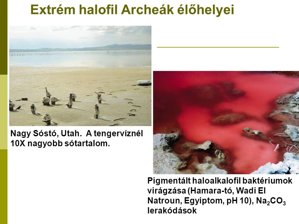 Extrém halofil Archeák élőhelyei Nagy Sóstó, Utah. A tengervíznél 10X nagyobb sótartalom. Pigmentált haloalkalofil baktériumok virágzása (Hamara-tó, W