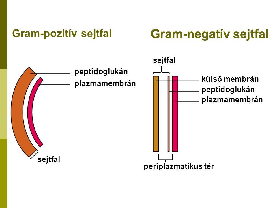 Gram-pozitív sejtfal Gram-negatív sejtfal sejtfal peptidoglukán plazmamembrán sejtfal periplazmatikus tér külső membrán peptidoglukán plazmamembrán