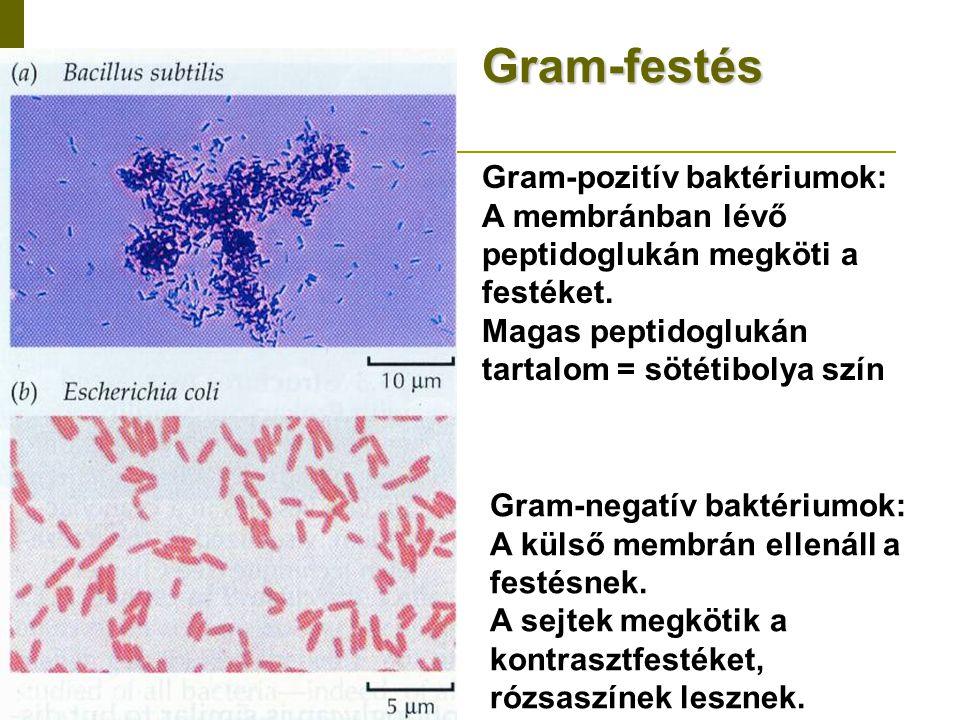 Gram-festés Gram-pozitív baktériumok: A membránban lévő peptidoglukán megköti a festéket. Magas peptidoglukán tartalom = sötétibolya szín Gram-negatív
