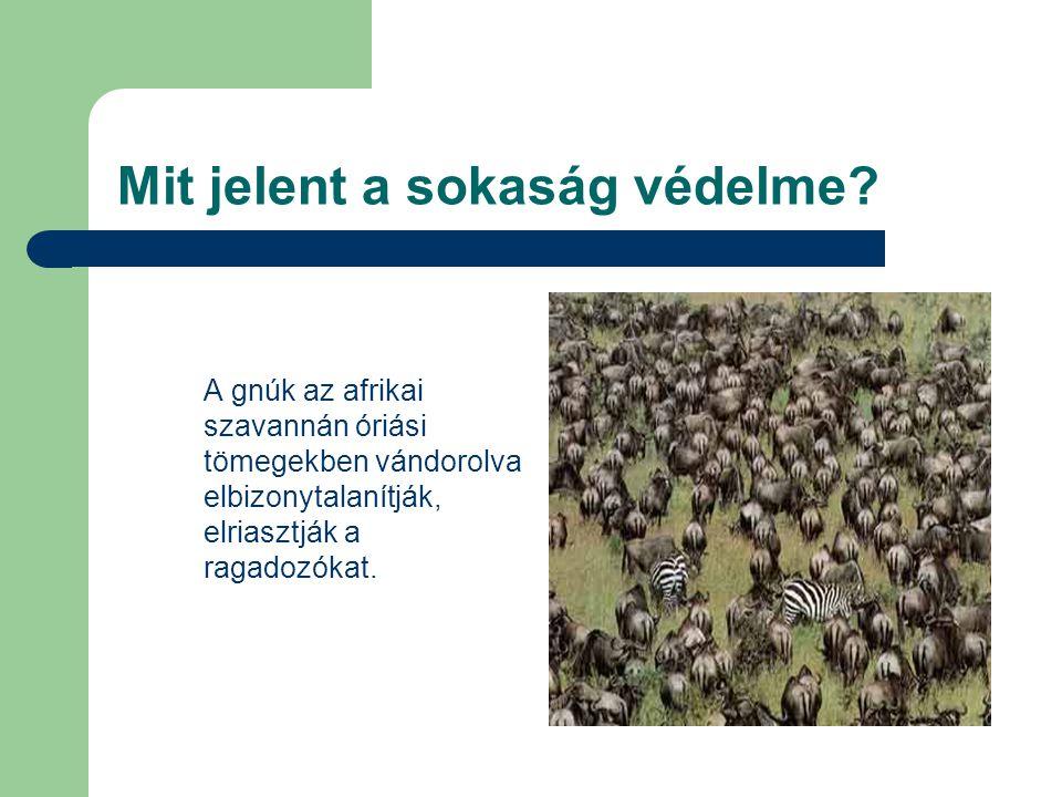 Mit jelent a sokaság védelme? A gnúk az afrikai szavannán óriási tömegekben vándorolva elbizonytalanítják, elriasztják a ragadozókat.
