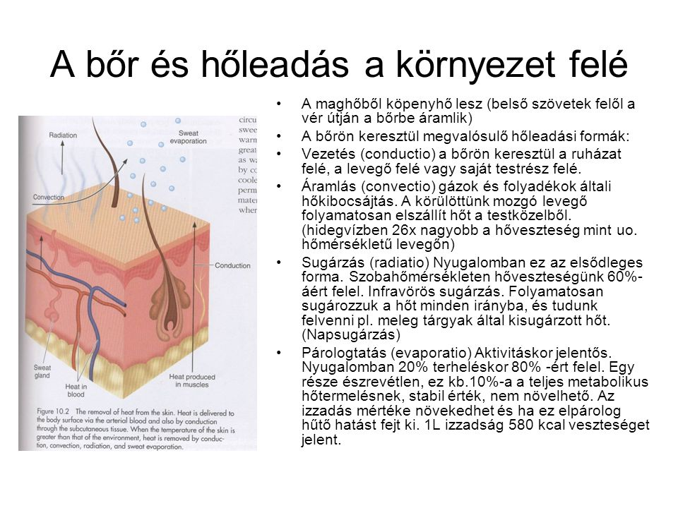 A bőr és hőleadás a környezet felé •A maghőből köpenyhő lesz (belső szövetek felől a vér útján a bőrbe áramlik) •A bőrön keresztül megvalósulő hőleadási formák: •Vezetés (conductio) a bőrön keresztül a ruházat felé, a levegő felé vagy saját testrész felé.