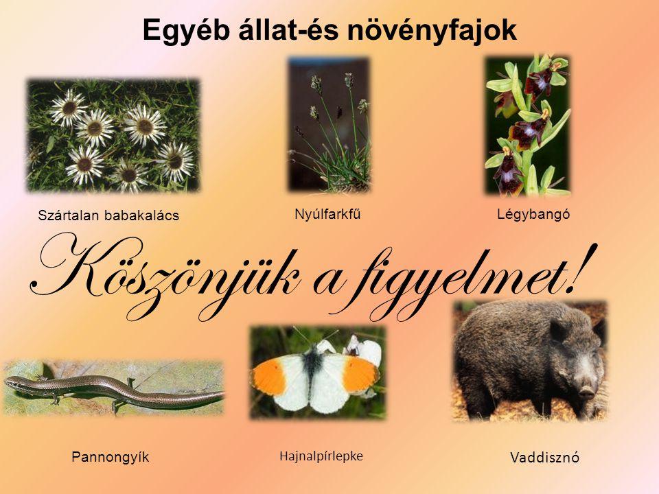 Egyéb állat-és növényfajok Szártalan babakalács NyúlfarkfűLégybangó Pannongyík Hajnalpírlepke Vaddisznó Köszönjük a figyelmet!
