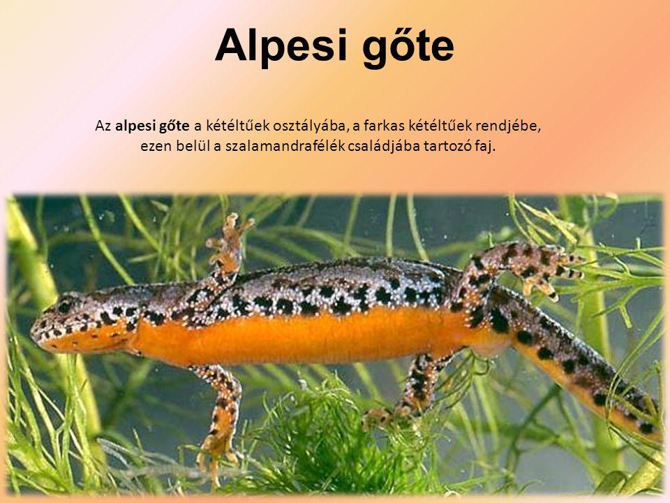 Alpesi gőte Az alpesi gőte a kétéltűek osztályába, a farkas kétéltűek rendjébe, ezen belül a szalamandrafélék családjába tartozó faj.