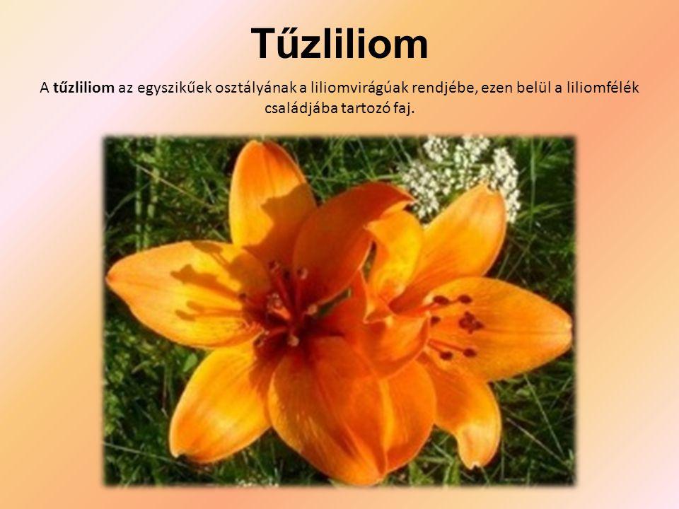 Tűzliliom A tűzliliom az egyszikűek osztályának a liliomvirágúak rendjébe, ezen belül a liliomfélék családjába tartozó faj.