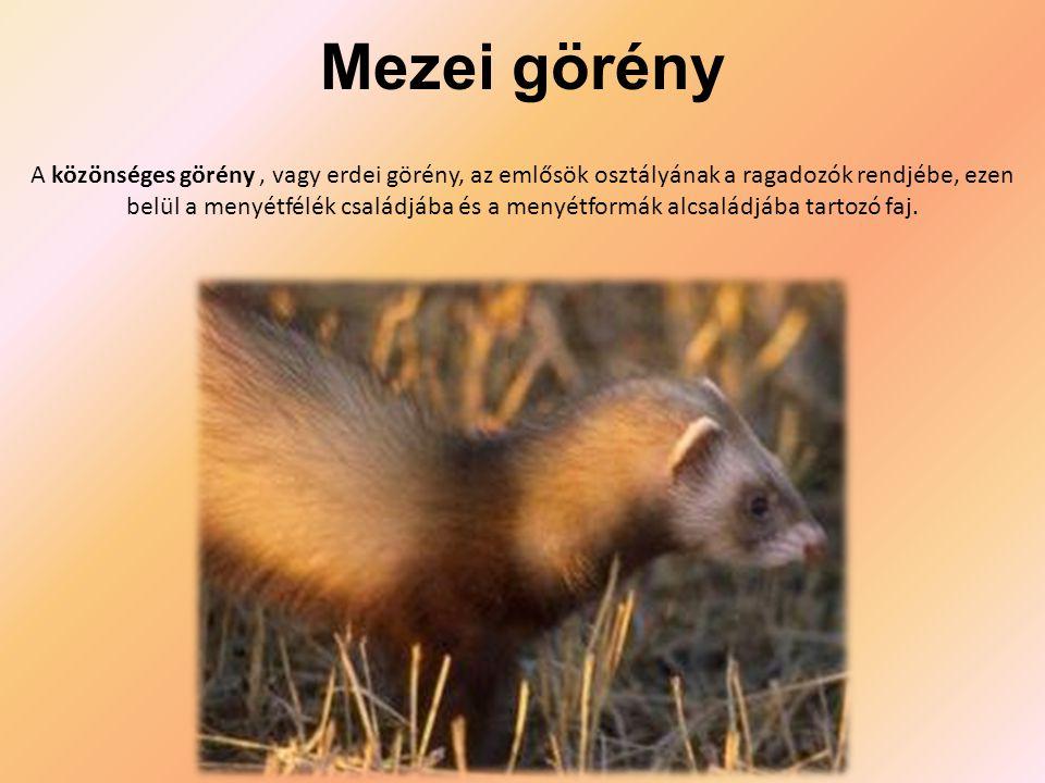 Mezei görény A közönséges görény, vagy erdei görény, az emlősök osztályának a ragadozók rendjébe, ezen belül a menyétfélék családjába és a menyétformák alcsaládjába tartozó faj.