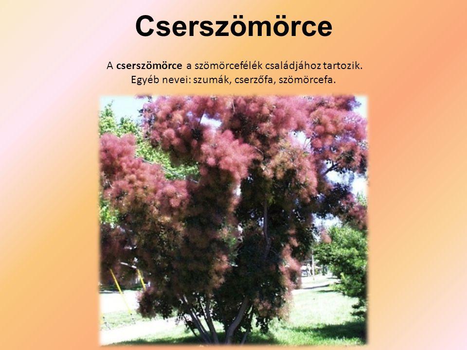 Cserszömörce A cserszömörce a szömörcefélék családjához tartozik. Egyéb nevei: szumák, cserzőfa, szömörcefa.