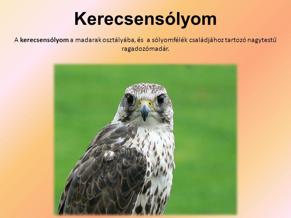 Kerecsensólyom A kerecsensólyom a madarak osztályába, és a sólyomfélék családjához tartozó nagytestű ragadozómadár.