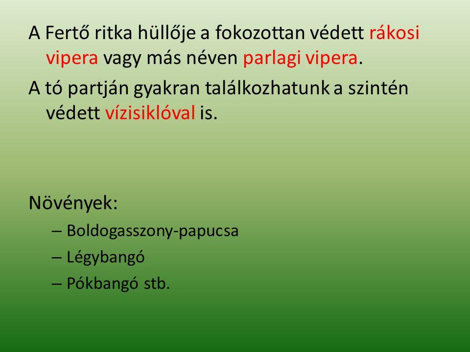 A Fertő ritka hüllője a fokozottan védett rákosi vipera vagy más néven parlagi vipera. A tó partján gyakran találkozhatunk a szintén védett vízisiklóv