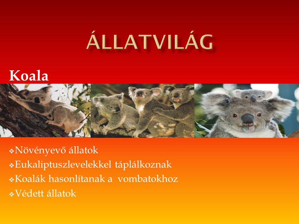 Koala  Növényevő állatok  Eukaliptuszlevelekkel táplálkoznak  Koalák hasonlítanak a vombatokhoz  Védett állatok