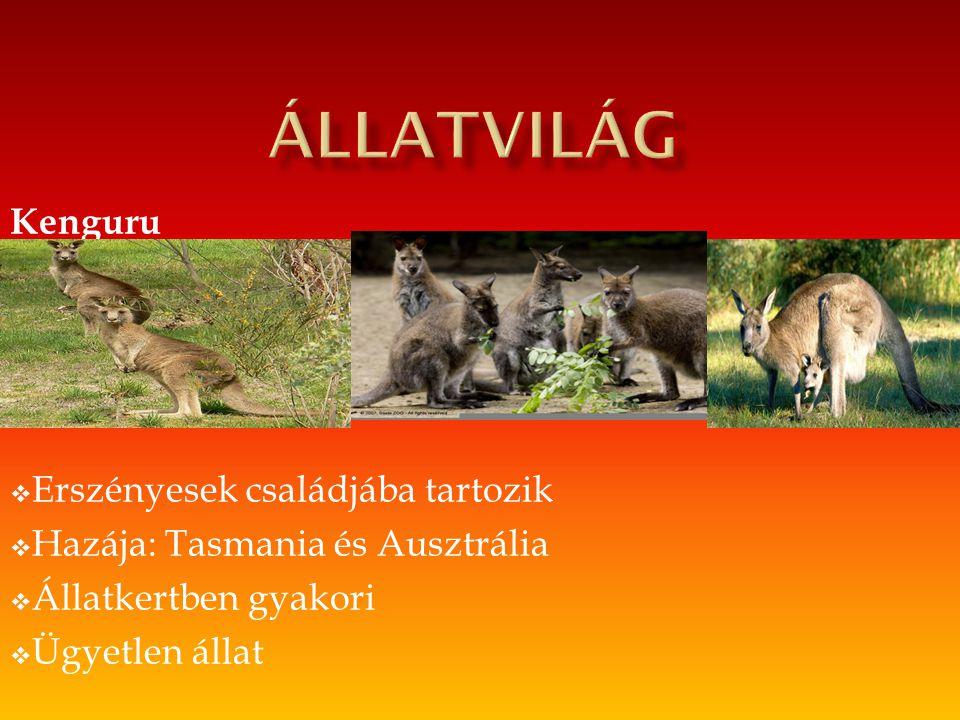Kenguru  Erszényesek családjába tartozik  Hazája: Tasmania és Ausztrália  Állatkertben gyakori  Ügyetlen állat