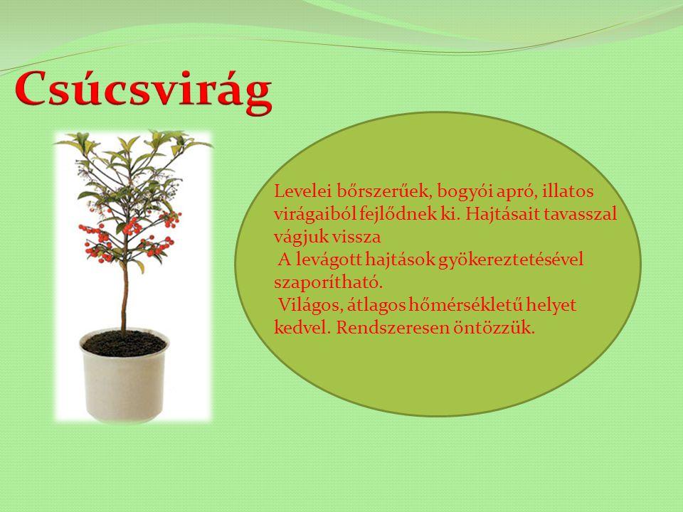 Lassan fejlődő tűlevelű dísznövény. Többirányú fényt igényel, különben a növény elhajlik. Nyáron átlagos hőmérsékletet és mérsékelt öntözést igényel,