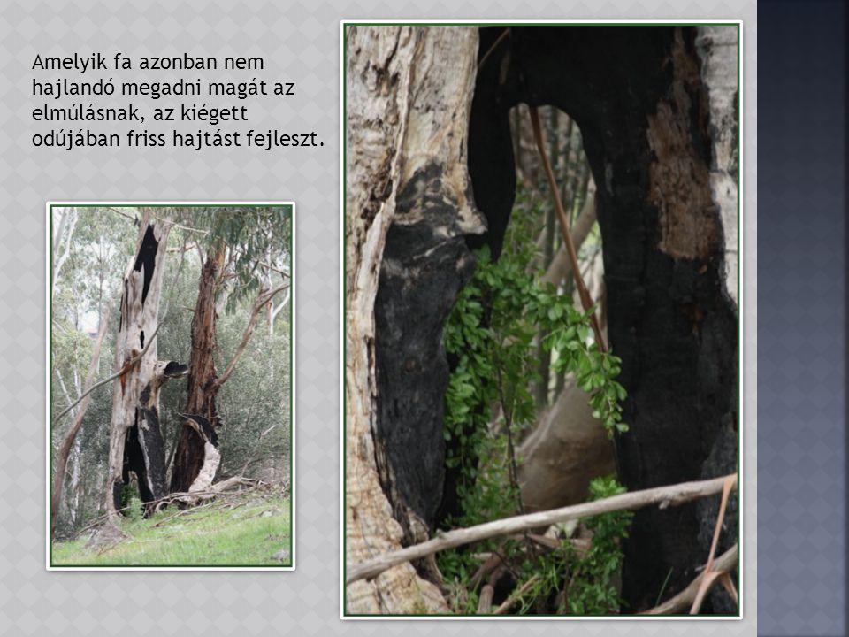 A csonttá száradt fa maradványok különleges formájukkal vonják magukra a figyelmet.