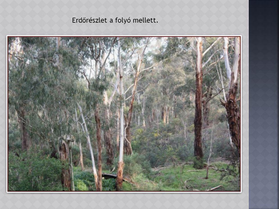 Jellegzetes eukaliptusz törzs.