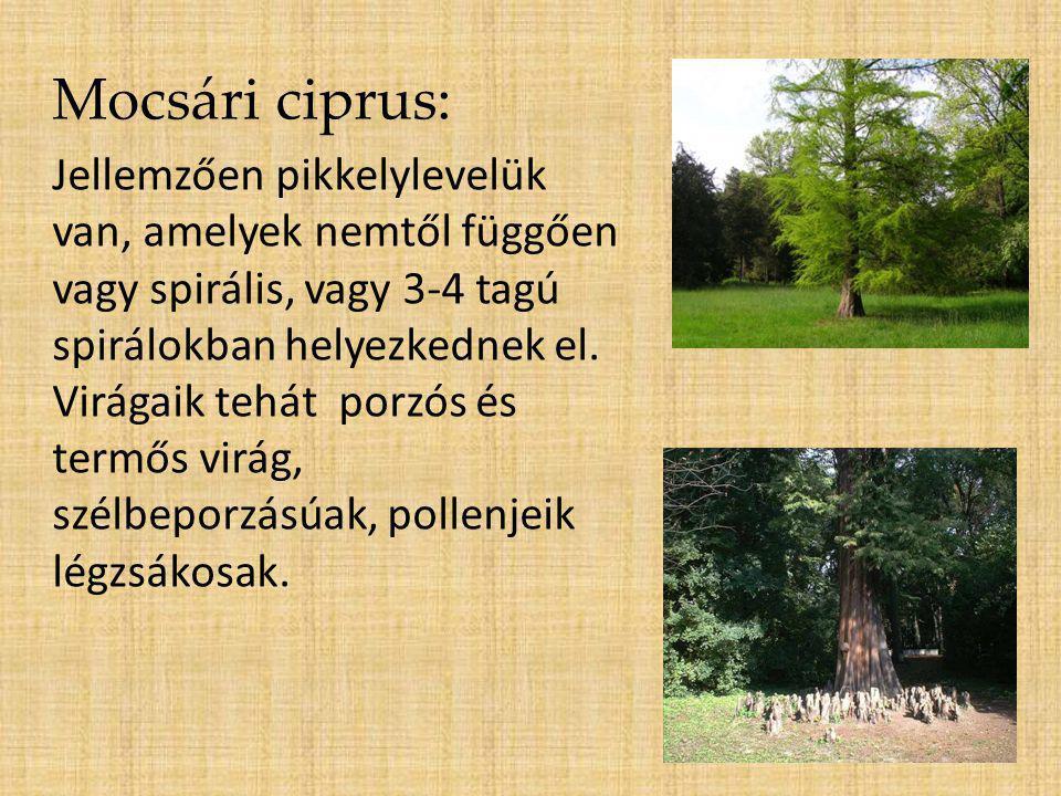 Mocsári ciprus: Jellemzően pikkelylevelük van, amelyek nemtől függően vagy spirális, vagy 3-4 tagú spirálokban helyezkednek el. Virágaik tehát porzós