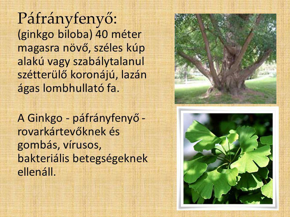Páfrányfenyő: (ginkgo biloba) 40 méter magasra növő, széles kúp alakú vagy szabálytalanul szétterülő koronájú, lazán ágas lombhullató fa. A Ginkgo - p