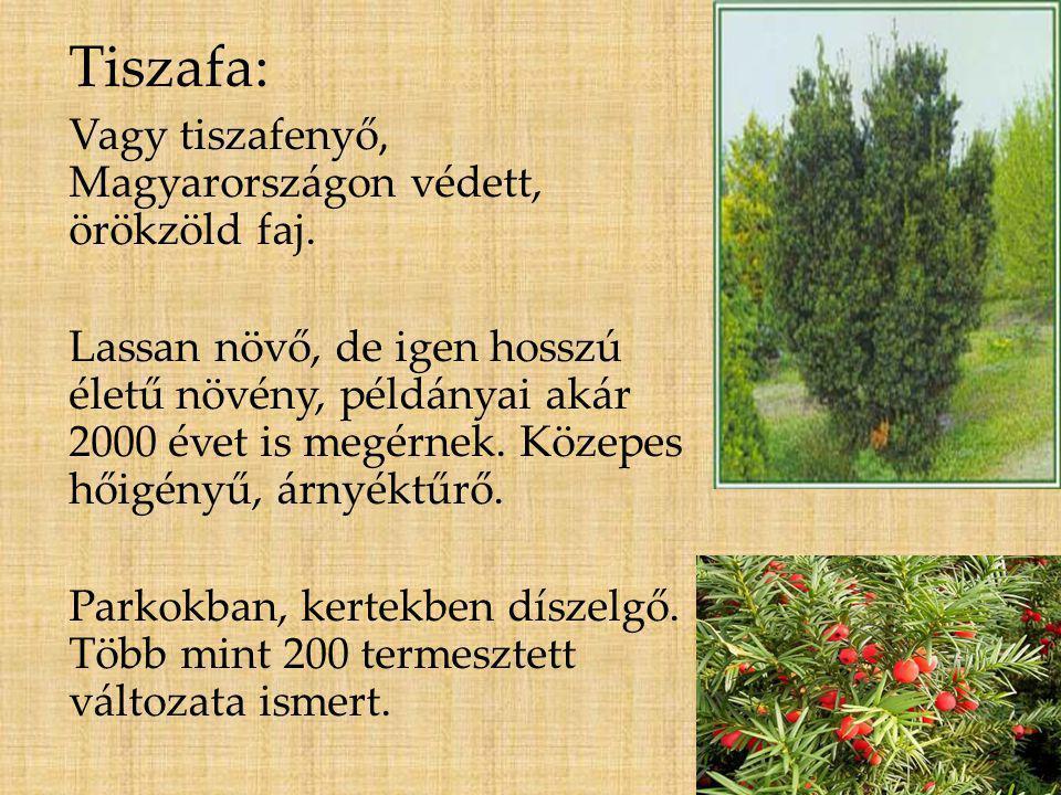 Tiszafa: Vagy tiszafenyő, Magyarországon védett, örökzöld faj. Lassan növő, de igen hosszú életű növény, példányai akár 2000 évet is megérnek. Közepes