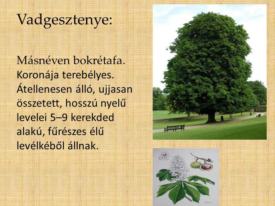 Vadgesztenye: Másnéven bokrétafa. Koronája terebélyes. Átellenesen álló, ujjasan összetett, hosszú nyelű levelei 5–9 kerekded alakú, fűrészes élű levé