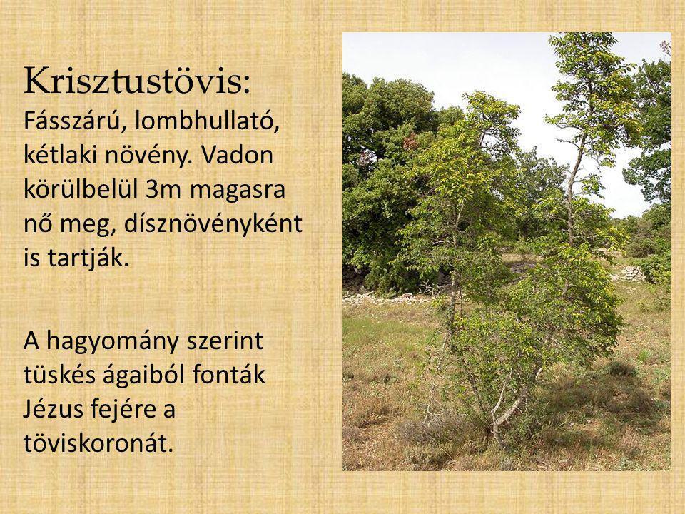 Krisztustövis: Fásszárú, lombhullató, kétlaki növény. Vadon körülbelül 3m magasra nő meg, dísznövényként is tartják. A hagyomány szerint tüskés ágaibó