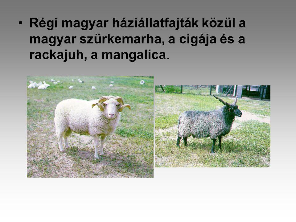 •Régi magyar háziállatfajták közül a magyar szürkemarha, a cigája és a rackajuh, a mangalica.