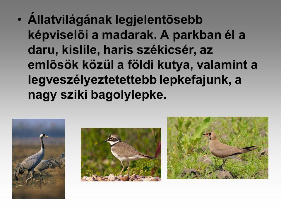 Állatvilága •A kék vércsék mellett él itt kerecsensólyom és parlagi sas.