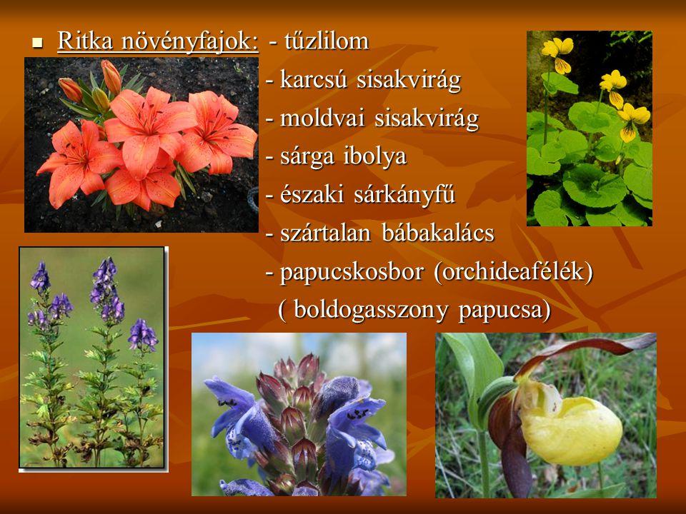 Ritka növényfajok: - tűzlilom - karcsú sisakvirág - karcsú sisakvirág - moldvai sisakvirág - moldvai sisakvirág - sárga ibolya - sárga ibolya - észa