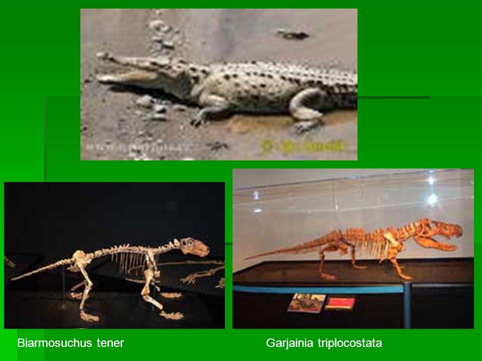 Biarmosuchus tenerGarjainia triplocostata