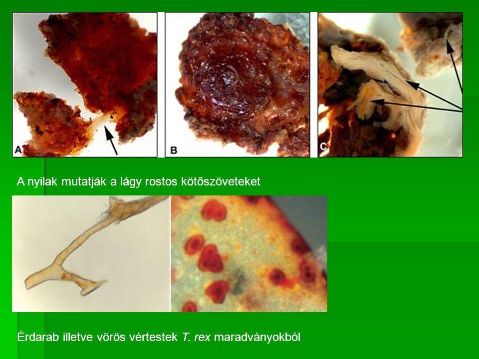 A nyilak mutatják a lágy rostos kötőszöveteket Érdarab illetve vörös vértestek T. rex maradványokból