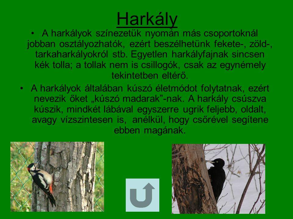 Varjú Nagysága kb.45 cm, szárny fesztávolsága 81-99 cm, súlya 300-340 g.