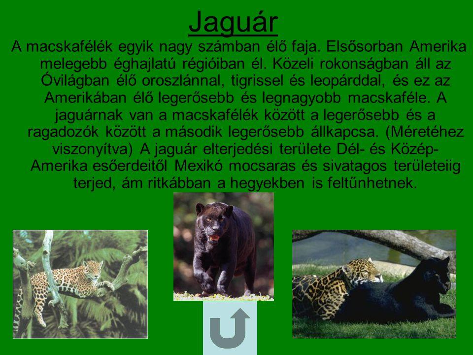Bivaly Hátrafelé görbülő szarvú, a szarvasmarhával rokon, általában kisebb színű kérődző állat.
