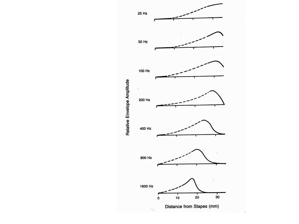 Tonotópia – késik-e az alacsonyhang vàlasza?