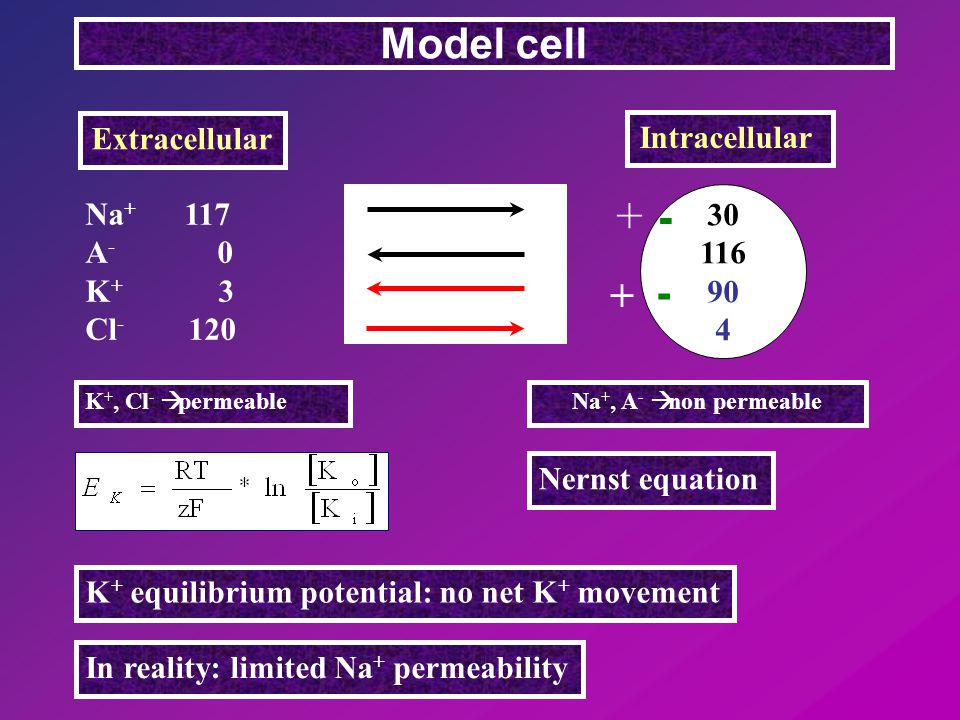 Na + 117 A - 0 K + 3 Cl - 120 Model cell Extracellular Intracellular 30 116 90 4 Nernst equation K + equilibrium potential: no net K + movement In reality: limited Na + permeability - - + + K +, Cl -  permeableNa +, A -  non permeable + +